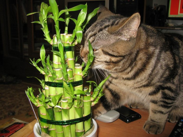 Бамбук в доме
