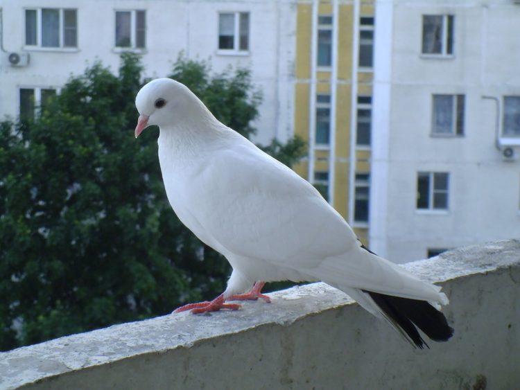 Голубь на балконе